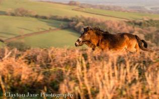 601 Clayton Jane Exmoor ponies at Sunrise