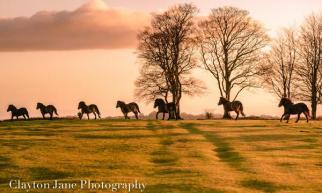 603 Clayton Jane Exmoor ponies at Sunrise