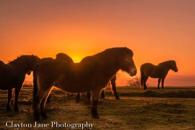 604 Clayton Jane Exmoor ponies at Sunrise