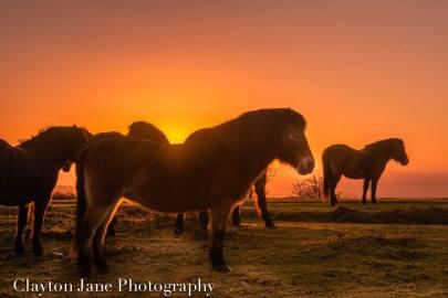 604 Clayton Jane Exmoor ponies at Sunrise