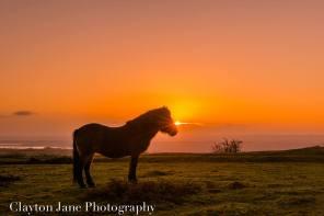 605 Clayton Jane Exmoor ponies at Sunrise