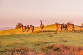 606 Clayton Jane Exmoor ponies at Sunrise