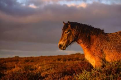 303 Clayton Jane Exmoor Pony