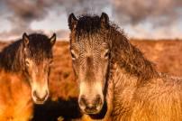 304 Clayton Jane Exmoor Ponies