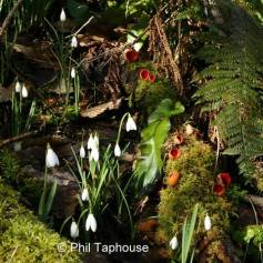 109 Phil Taphouse Snowdrops