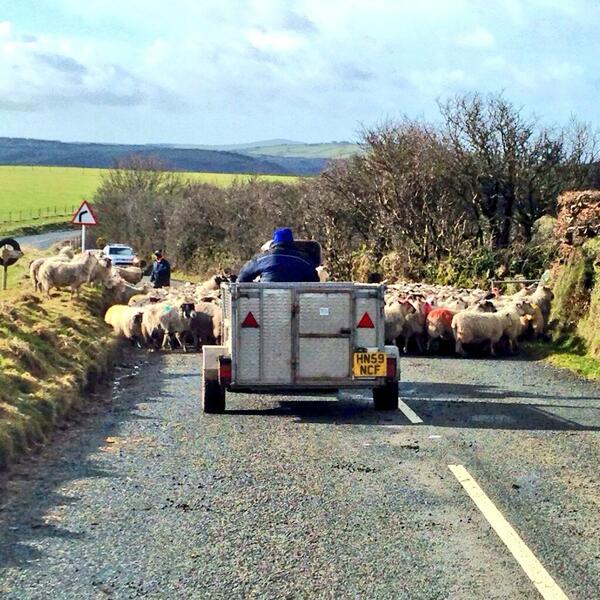 Rush hour on Exmoor. Photo by Paul the Chimneysweep