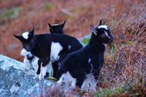 501 Caroline Blakey Goats