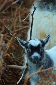 504 Caroline Blakey Goats