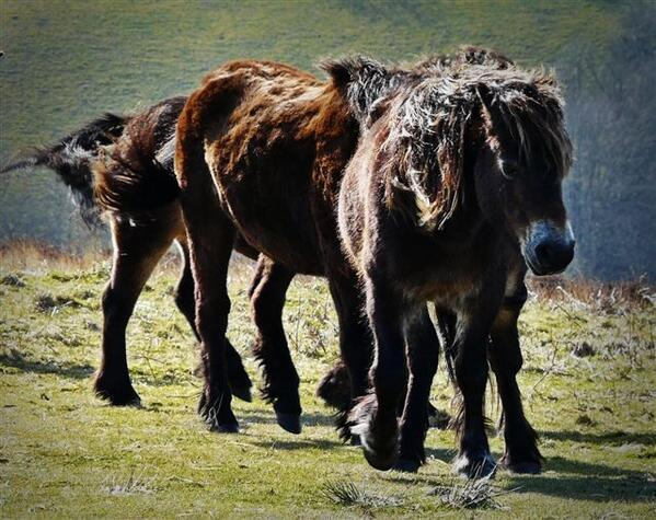 Exmoor Ponies enjoying the spring sunshine. Photo by Nigel Hester