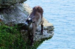 602 Lynton Goats