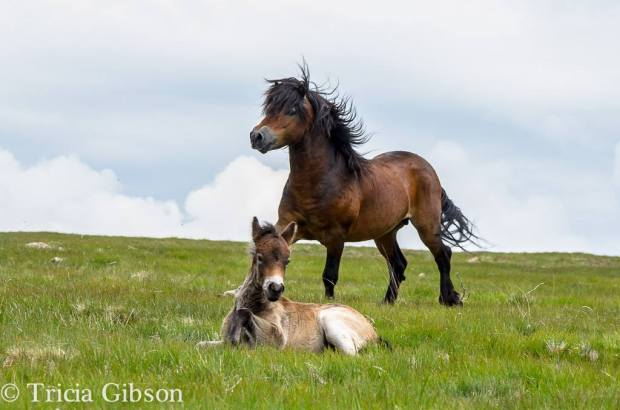 awbitts Lanzulot and one of his colt foals. Photo by Tricia Gibson