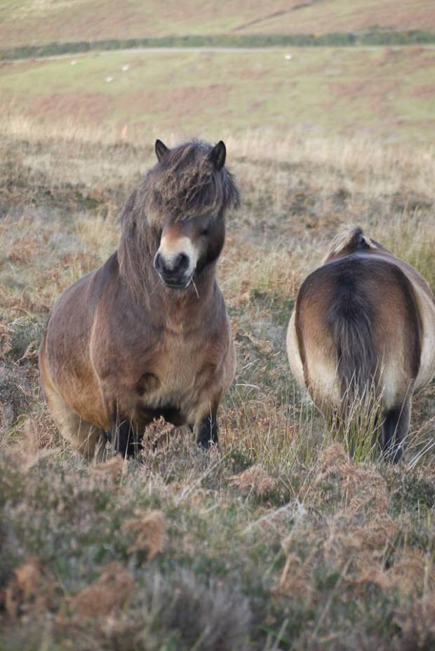 Now here's a stunning chap - the free-living Exmoor moorland stallion Tippbarlake Jamie - 387/37
