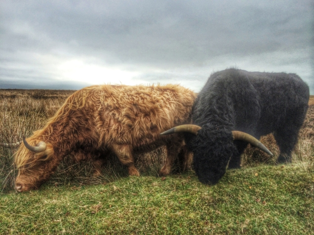 Highland Cattle on Exmoor, Somerset