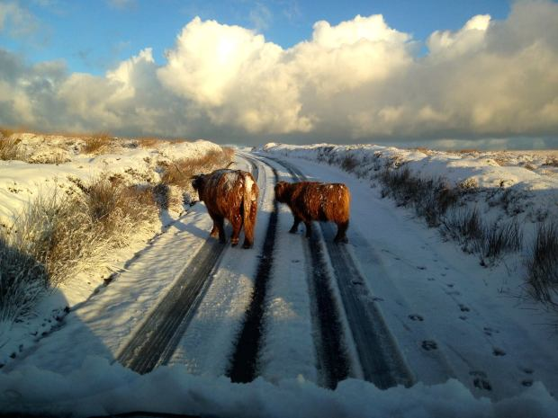 402 Exmoor Adventures Snow Highland Cattle 14 Jan