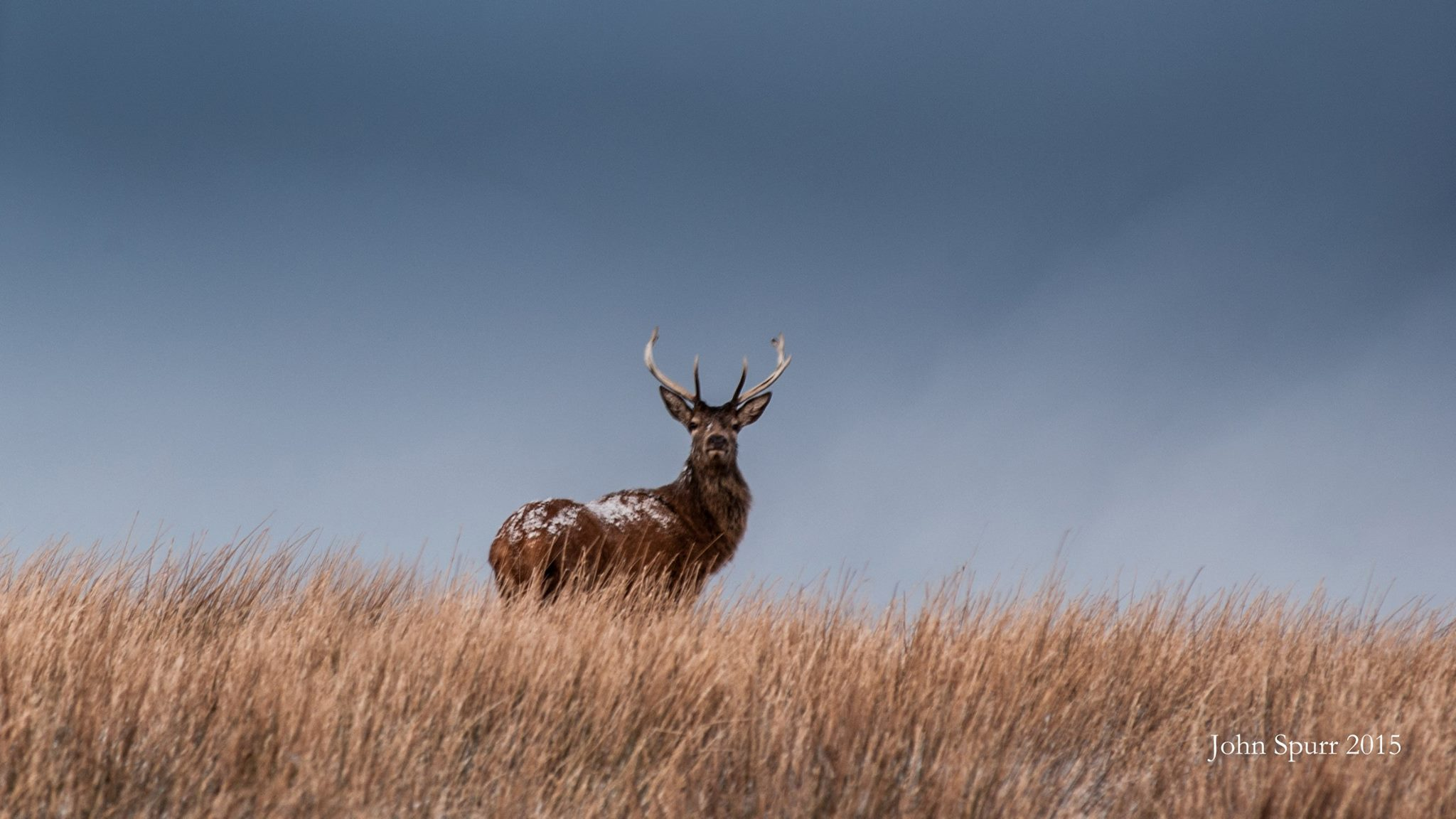 A snowy stag on Exmoor, January 2015,