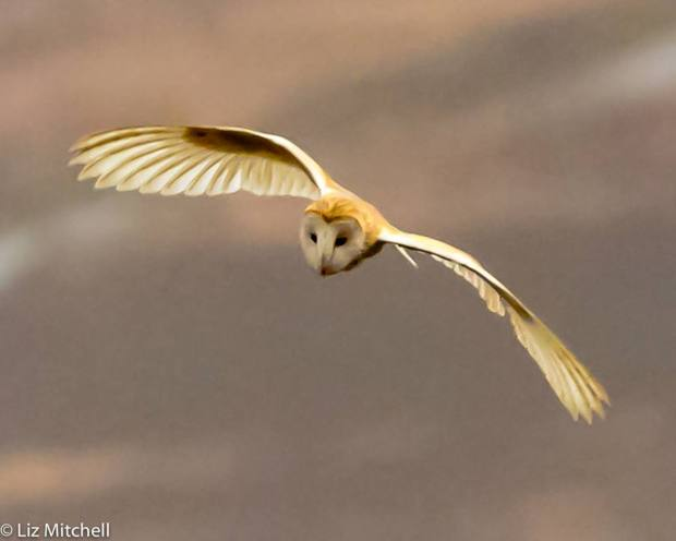 701 Liz Mitchell Barn Owl hunting