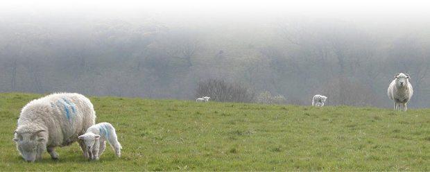 Exmoor Horn Wool 1