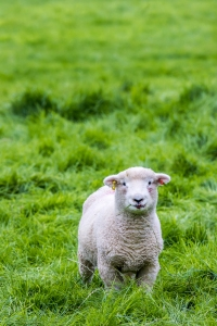 Young sprint Lamb from Exmoor