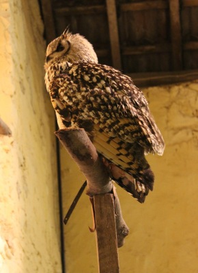Bengali Eagle Owl