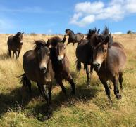 104 Dawn Westcott - The Holtball Exmoor ponies looking stunning yesterday in the sunshine (Porlock Vale)