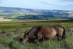 119 Leanna Coles A beautiful Exmoor pony on the lower slopes of Dunkery....