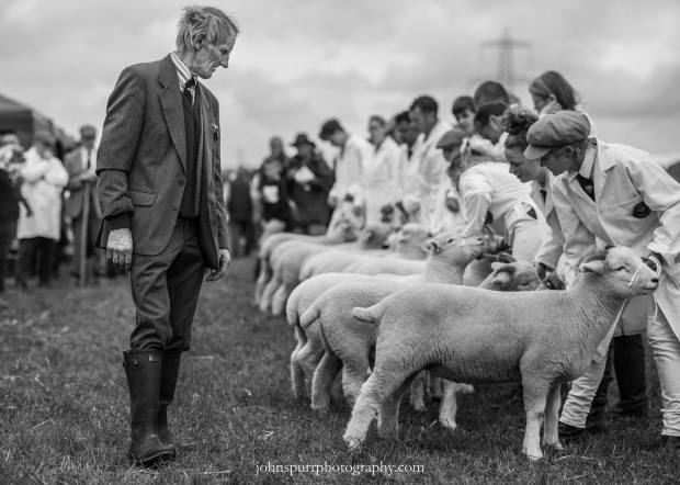 303 John Spurr Exmoor Horn sheep being judged.