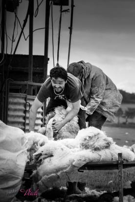0708-helen-disberry-i-was-fascinated-watching-these-guys-shearing-sheep-in-the-middle-of-a-field-on-exmoor