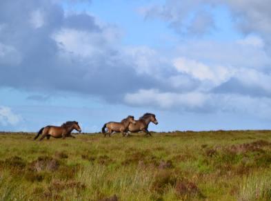 0708-linda-thompson-exmoor-ponies