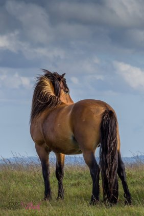 0709-helen-disberry-free-living-exmoor-stallion-watching-over-the-family-group