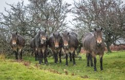 0908-nicki-vinall-a-few-of-the-exmoor-ponies-laughing-at-us-in-the-pouring-rain