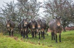 0908-nicki-vinall-exmoor-ponies-laughing-at-us-in-the-rain