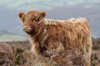 0908-nicki-vinall-such-a-beautiful-calf-on-exmoor