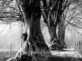 1008-julia-amies-green-majestic-ancient-beeches-in-the-early-morning-mist