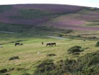 1108-annette-baker-heather-on-exmoor
