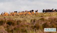 1108-julie-wicks-deer-being-moved-on-by-exmoor-ponies-1