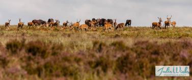 1108-julie-wicks-deer-being-moved-on-by-exmoor-ponies-2
