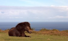 113-jochen-langbein-exmoor-pony-resting-enjoying-the-autumn-sunshine-above-the-bristol-channel