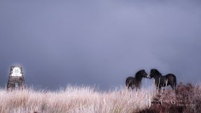 1308-julia-amies-green-an-atmospheric-image-of-two-ponies-sharing-a-very-tender-moment-ahead-of-the-oncoming-storm