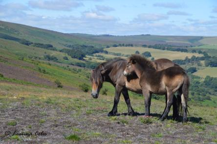 1708-leanna-coles-exmoor-mare-and-foal-on-dunkery