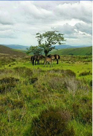 1708-pauly-allen-new-generation-of-exmoor-ponies-heading-towards-exford