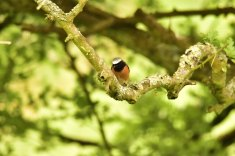 1808-jim-gulliford-a-redstart-feeding-in-the-valley-of-rocks-from-july
