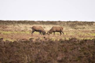 1808-jim-gulliford-couple-of-stags-sorting-out-whos-boss-from-january-of-this-year