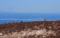 1908-jochen-langbein-exmoor-red-deer-above-the-bristol-channel-in-late-winter