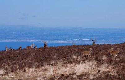 1908-jochen-langbein-exmoor-red-deer-above-the-bristol-channel-in-late-winter