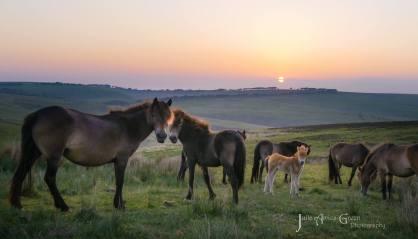 1908-julia-amies-green-free-living-exmoor-ponies-at-sunset