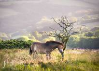 2008-julia-amies-green-exmoor-pony-having-a-scratch-in-the-evening-sunlight