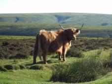 2108-annette-baker-highland-cattle-with-a-view