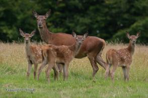 2108-graham-floyd-hind-with-three-calfs-at-dulverton