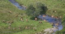 2108-graham-floyd-large-herd-of-exmoor-stags-at-peace-by-the-river-barle