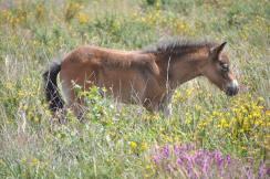 2108-isabella-raper-exmoor-pony-foal-on-haddon-hill